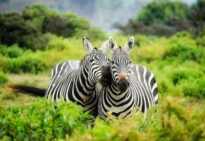 Zebra Pärchen Safari Afrika