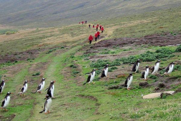 Falkland wandeling met pinguïns