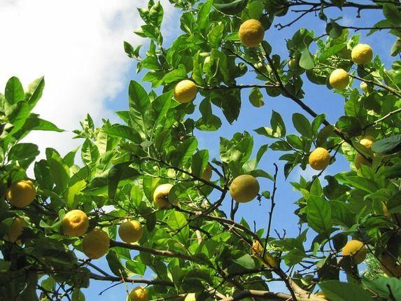 Zitronenbaum Korfu