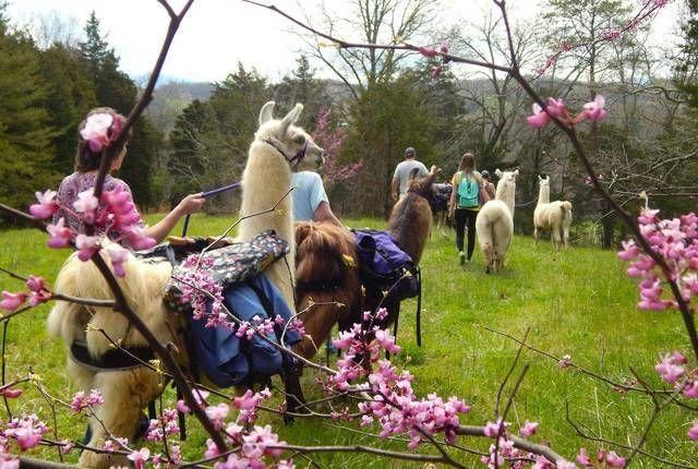 The Wandering Llamas Trek
