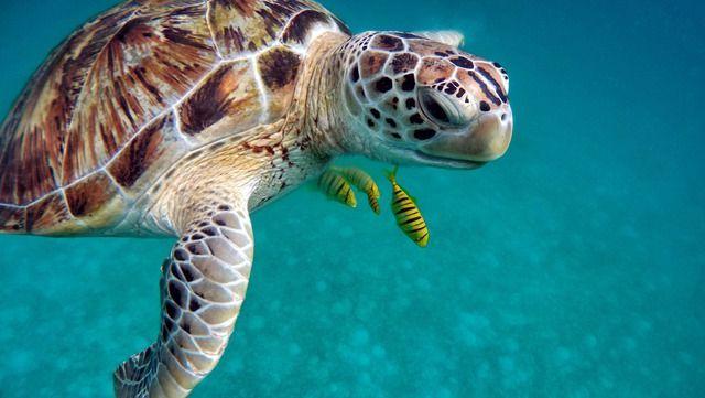 Malediven Schildkröte