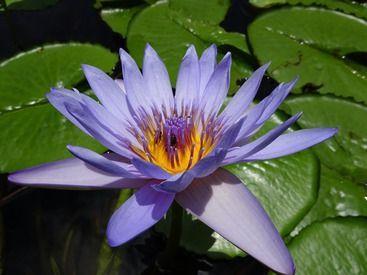 Mauritius Wasserlilie