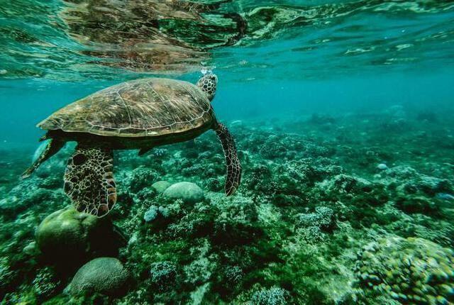 Phillipines Turtle