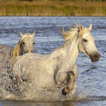 Rennende paarden in water
