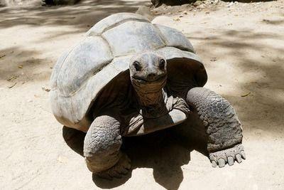 Riesenschildkröte Seychellen