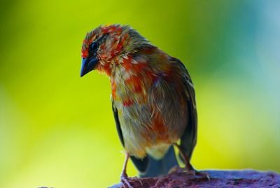 Vogel Seychellen