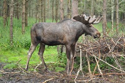 Moose Skandinavien