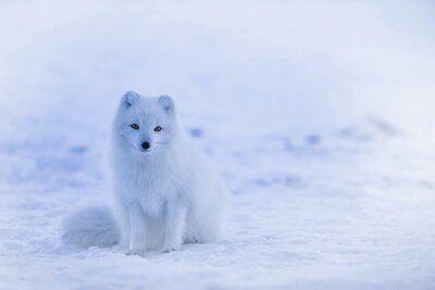 Polarfuchs Skandinavien