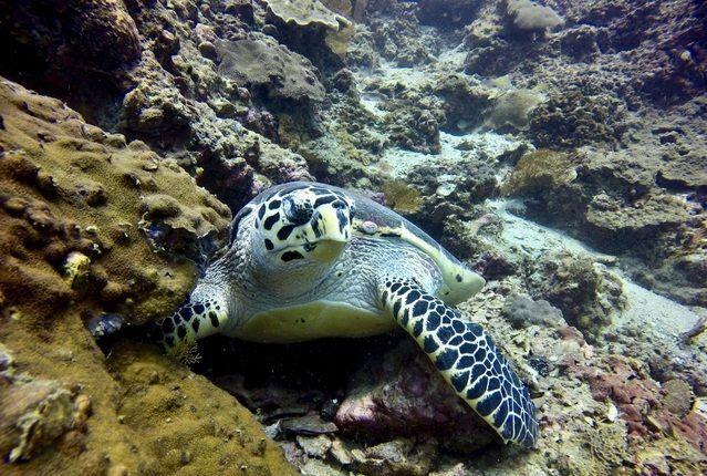 Schildkröte Unterwasser in Phuket
