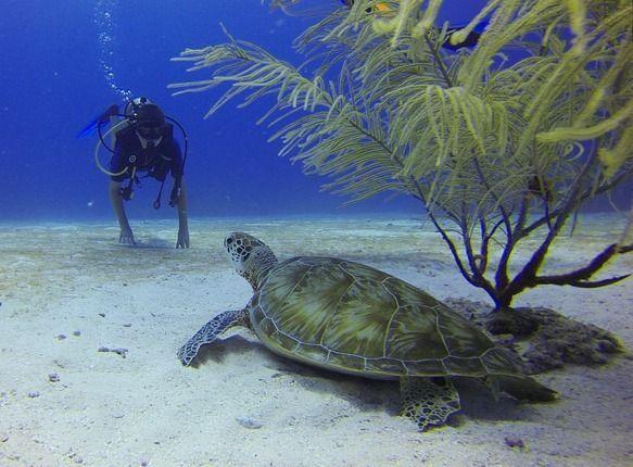 Taucher Schildkröte