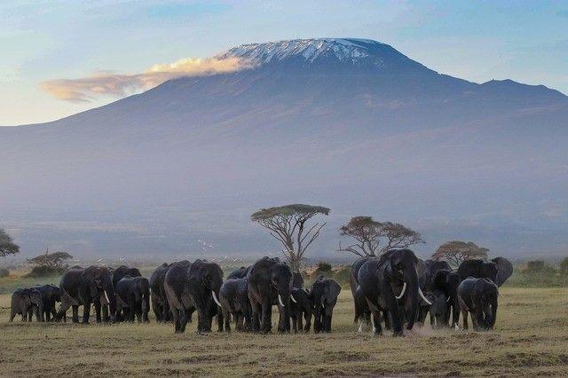 amboseli mt. kilimanjaro herd of elephants