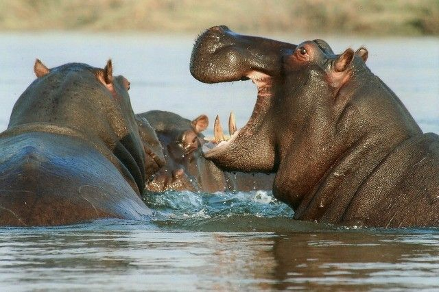amboseli hippopotamus