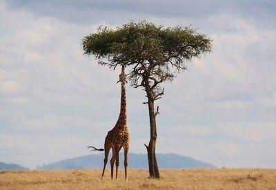 Amboseli Giraffe