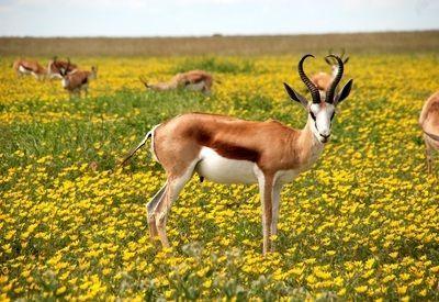 Antilopes Afrika