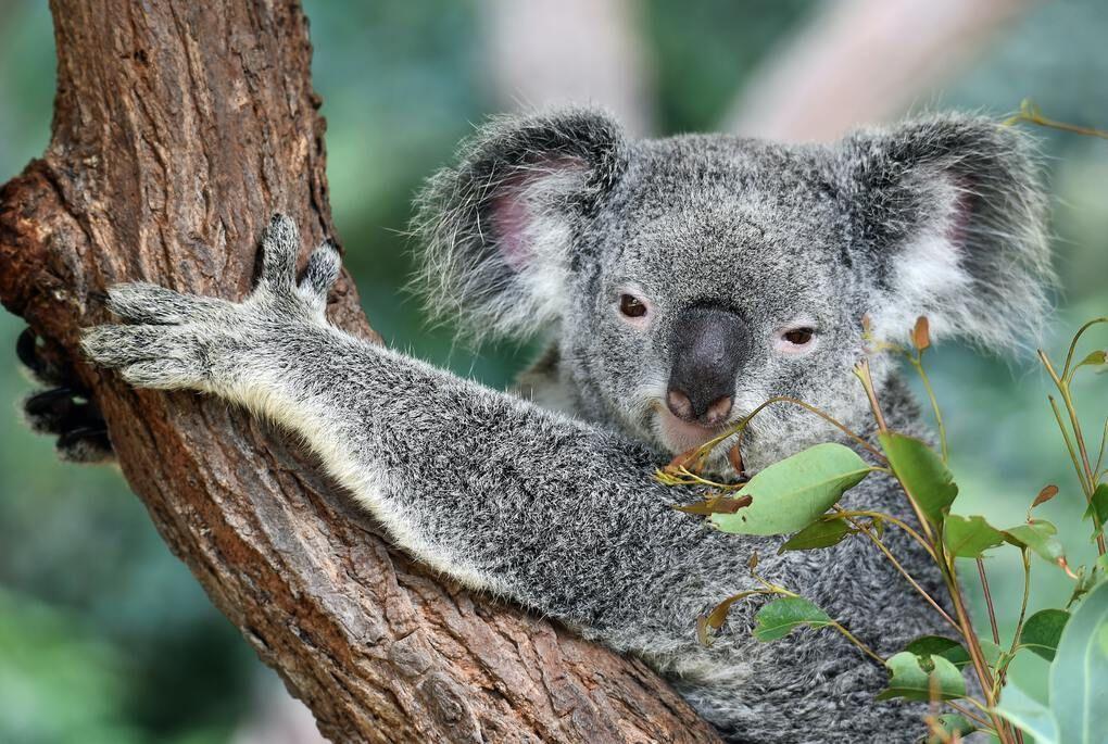 Koala Gardens, Kuranda, Australia.