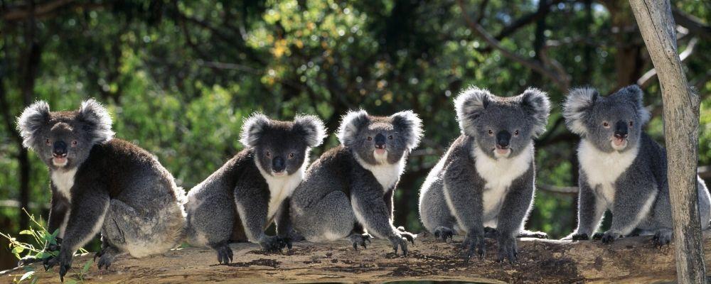 australia-wildlife-koalas