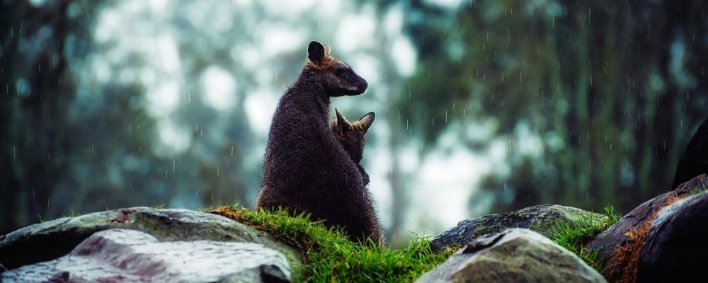 australia-wildlife-wallaby