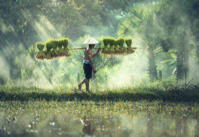 Azie rijstveld