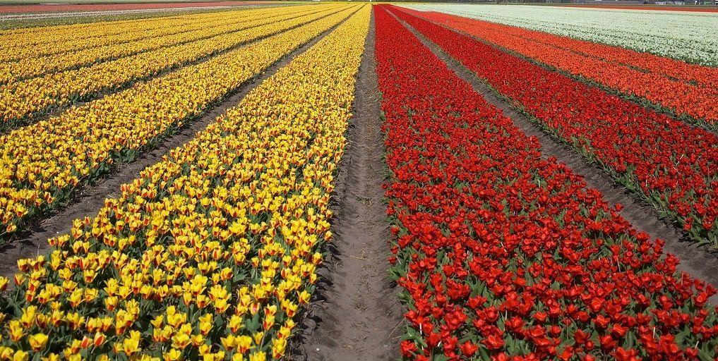 Champs Tulipes Keukenhof