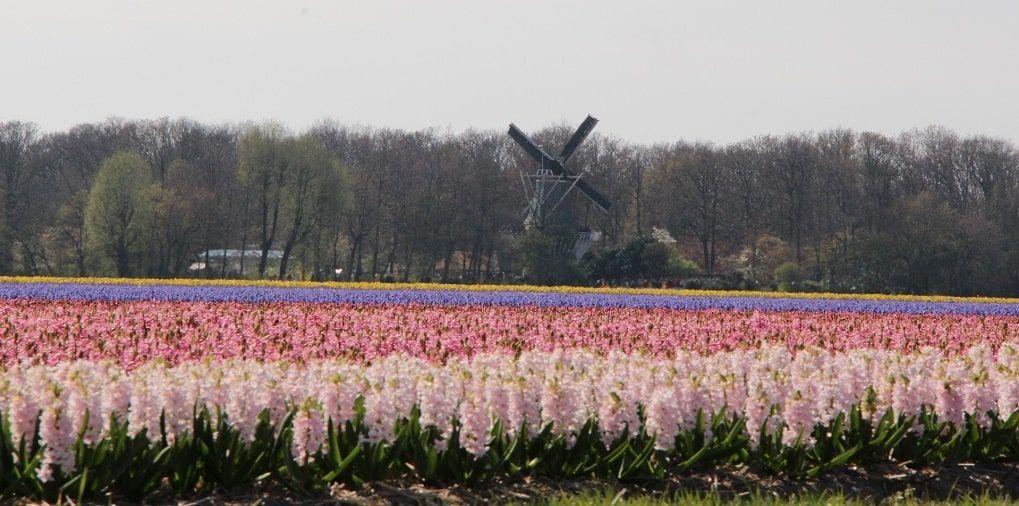 Champ Tulipes Keukenhof