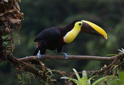 Costa Rica toekan