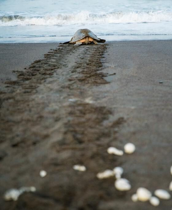A mother sea turtle returns to the sea after laying her eggs and just before the sunrise on Playa Ostional in Costa Rica.