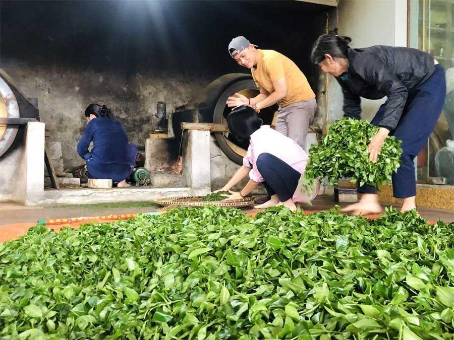 Feuilles fraiches de thé vert