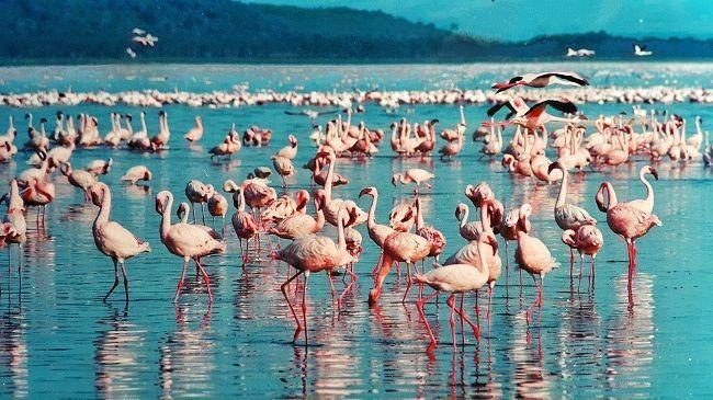 Fenicotteri Rosa Lago Nakuru