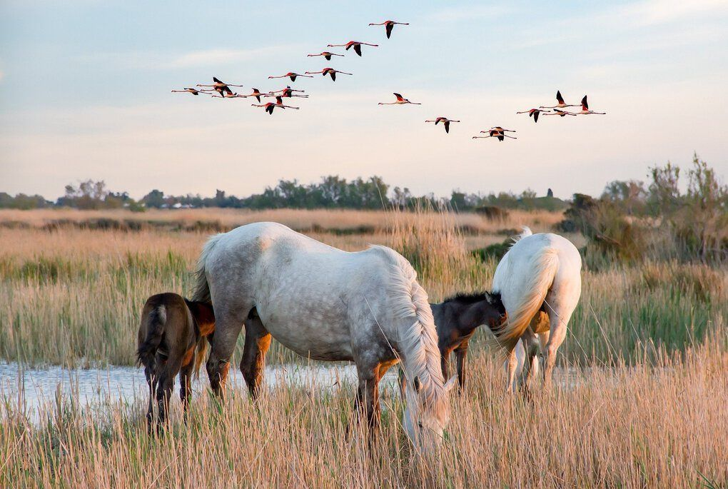 White horses with flamingos in grass