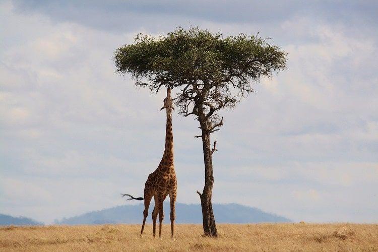 Girafe Kenya Paysage Desertique