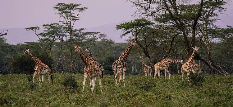 Giraffes Foret