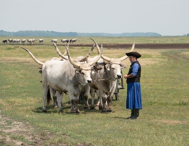 Hortogbagy National Park - Hungarian Grey Cattle