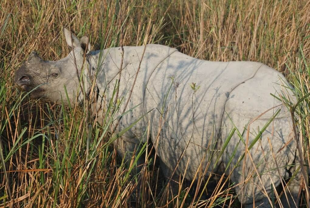 Indian rhinoceros in tall grass in the Kaziringa National Park