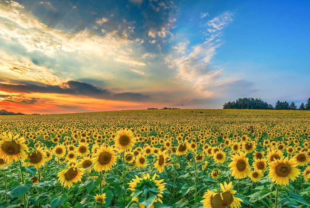 Sunflower Fields in Florida