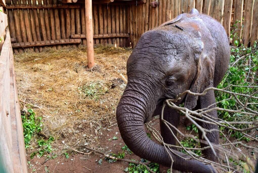 Baby elephant at elephant orphanage in Nairobi