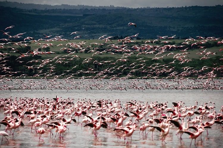 Lac Nakuru Flamants Roses