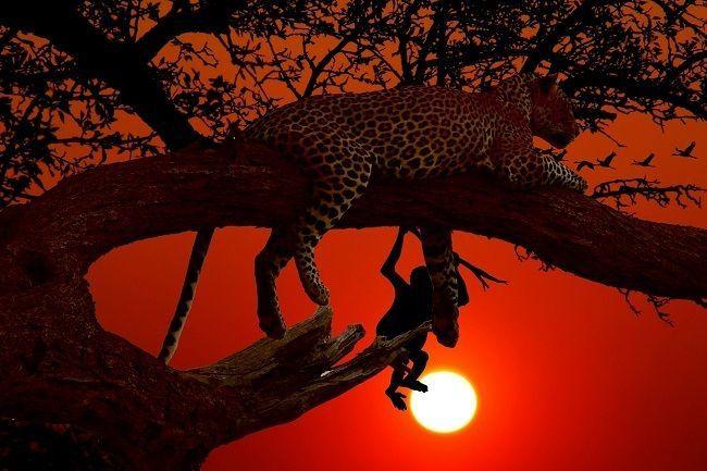 Leopardo riserva Samburu