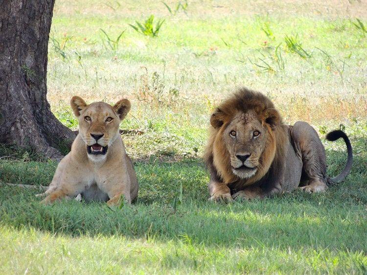 Lions Herbe