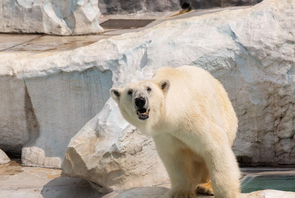 Polar bear at the Milwaukee Zoo