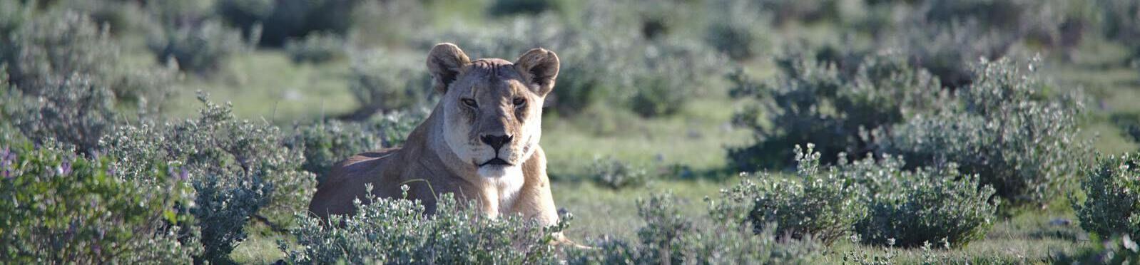 namibia leonessa