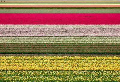 Niederlande, Tulpenfelder