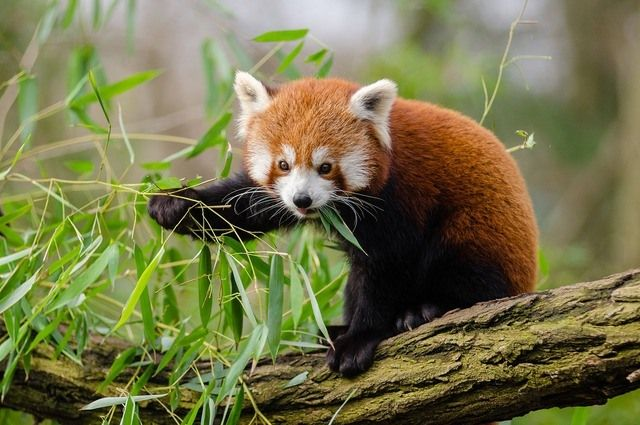 Red Panda at Newquay Zoo