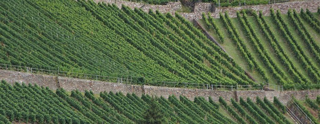 Vignes Côtes du Rhône