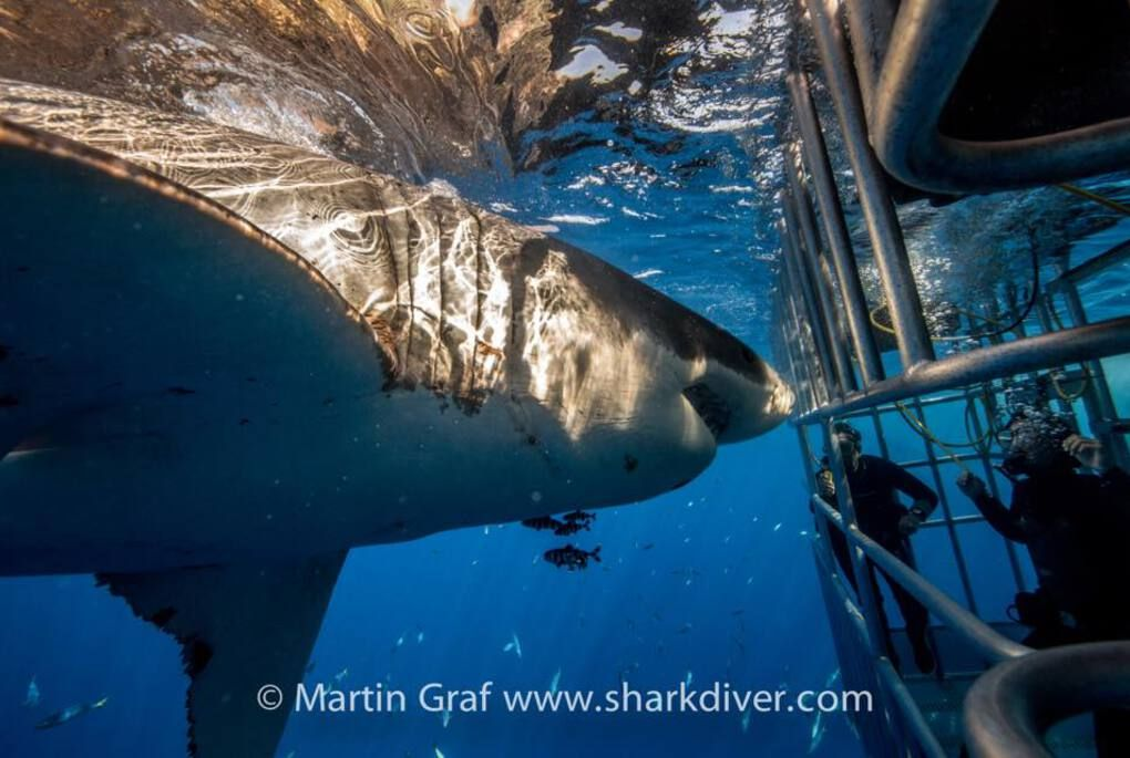 San Diego Things to Do #8 - Great White Shark Diving