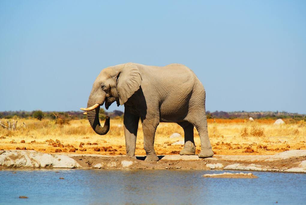 Elephant in Botswana safari