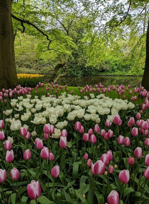 Tulip flowers in the Keukenhof Gardens in Holland