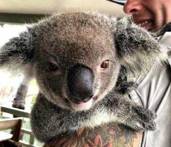 koala at walk about park australia